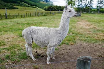Standing alpaca at ranch.