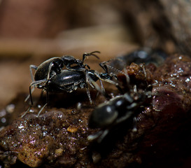 Beetles copulating on a animal dung. Monfrague National Park. Caceres. Extremadura. Spain.