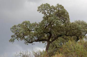 Evergreen oak (Quercus rotundifolia). Monfrague National Park. Caceres. Extremadura. Spain.