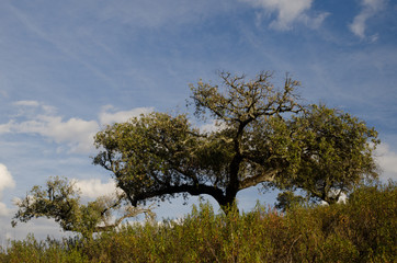 Evergreen oaks (Quercus rotundifolia). Monfrague National Park. Caceres. Extremadura. Spain.