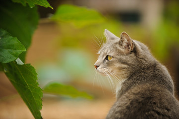 Grey Cat outdoor portrait in nature