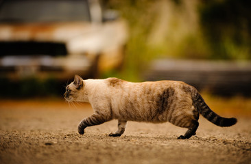 Cat cautiously walking through junk yard with old vehicle
