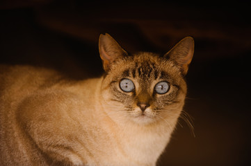 Cat with blue eyes against dark background
