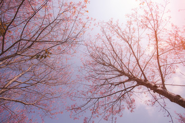 Cherry blossom trees in north of Thailand in winter season