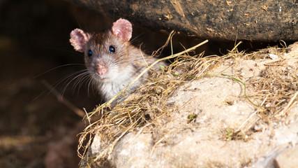 jeune rat curieux