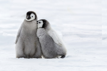 Two Emperor Penguins  Chicks in close contact