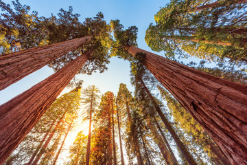 Tall Forest of Sequoias, Yosemite National Park, California