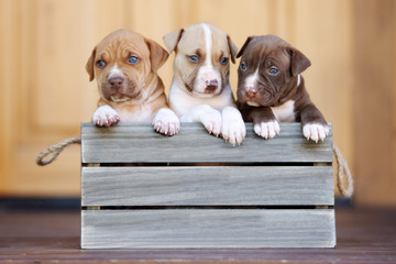 three pit bull terrier puppies posing together in a wooden box