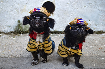 Two cute dogs dressed in Cuban national dress on the streets of old Havana, Cuba
