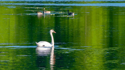 Swans are swimming at lake in spring of Minnesota