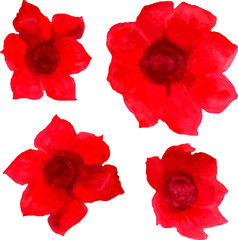 watercolor red poppies isolated on white background
