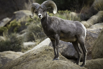 Bighorn Sheep Ram in Joshua Tree National Park