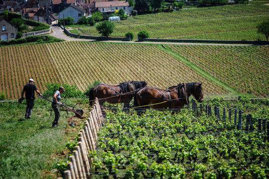 F, Burgund, Departement Côte d'Or, Vougeot, ökologische Arbeit in den Weinbergen mit Pferden (Ardenner) bei Clos de Vougeot