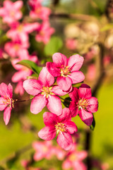 Blooming apple tree, pink flowers, against green  background,  springtime.