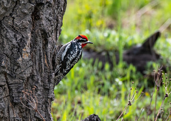 A Red-naped Sapsucker on a Tree Trunk