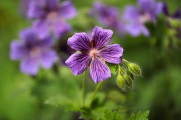 Lilac flower in the spring garden