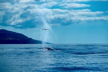 A fin whale surfacing as a shearwater flies overhead