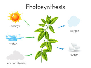 A Vector of Plant Photosynthesis