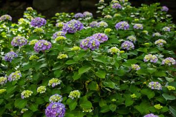 Purple flowers hydrangea beautiful.