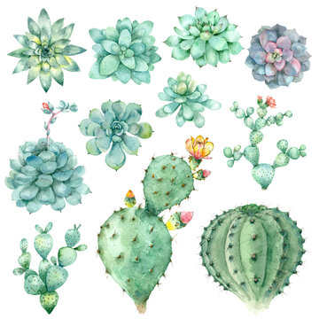 succulents in watercolor