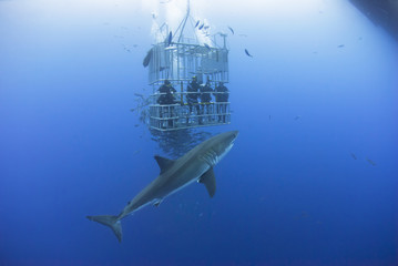 Great white shark in front of a diving cage with scuba divers