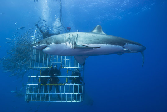 Great white shark sideways in front of a diving cage with scuba divers