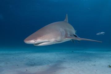 Lemon shark in clear blue water