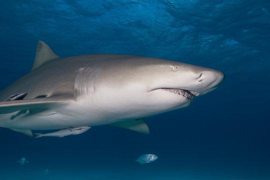 Angry looking Lemon Shark showing sharp rows of teeth