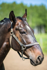 The head of brown Hanoverian horse in the bridle or snaffle a with the green background of trees an grass in the sunny summer day