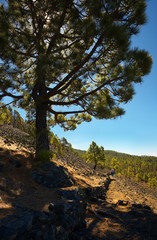 Landscape in the Island of La Palma with an endemic pine Pinus canariensis, Canary Islands, Spain