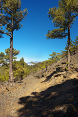 Landscape in the Island of La Palma with endemic pines Pinus canariensis, Canary Islands, Spain