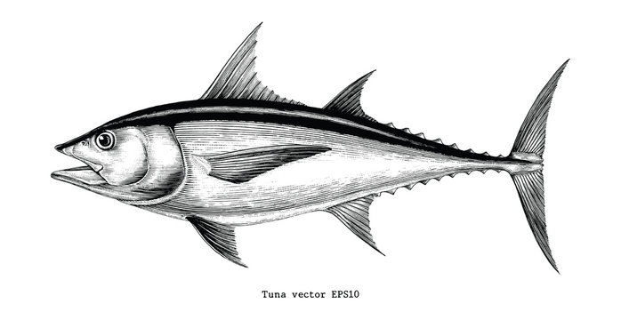 Tuna fish hand drawing vintage engraving illustration