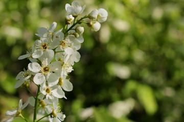 красивая белая цветущая черемуха на размытом фоне