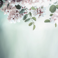 Beautiful acacia blossom on blurred nature background