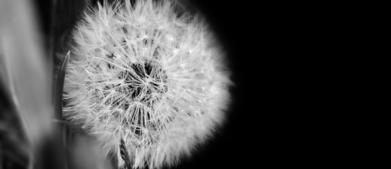 Foto op Canvas Paardenbloem Black and white dandelion close up on natural background. Dandelion flower on summer meadow