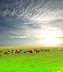 Fototapete - A group of Hereford cows being rounded up for branding
