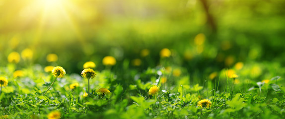 Green field with yellow dandelions. Closeup of yellow spring flowers on the ground
