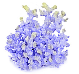 coral isolated on white background