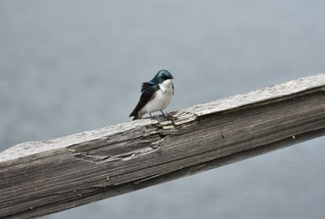 Wind blowing feathers on tree swallow