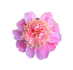 blooming flower pink peony close up, top view isolated on white background