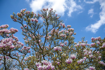 Flowering branches of Saucer magnolia (Magnolia x soulangeana), a hybrid plant in the genus Magnolia and family Magnoliaceae with large, early blooming flowers in various shades of white, pink, purple