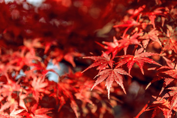 Fototapete - Red maple in Autumn.