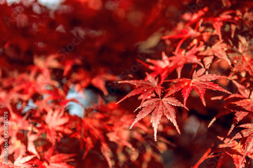 Wall mural Red maple in Autumn.