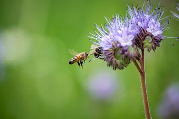 Biene mit lila blühender Phacelia Blume auf Feld.
