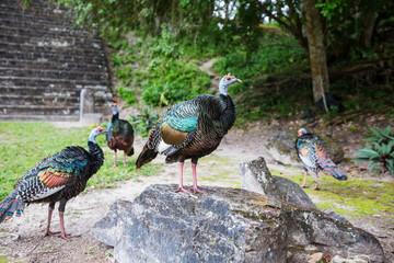 Turkey in Guatemala