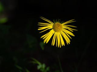 Wild yellow daisy, struggling to the light.