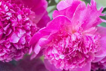 pink peony flower petals macro selective focus