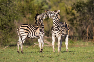 Fighting zebra in Sabi Sands Private Game Reserve part of the Greater Kruger Region in South Africa