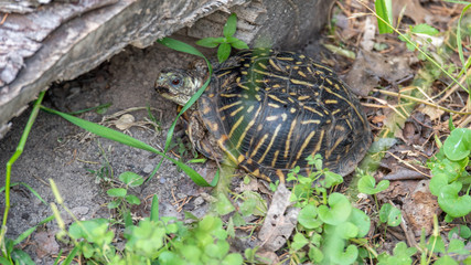 Small Turtle Hidden Under Wood and Looking at the Camera