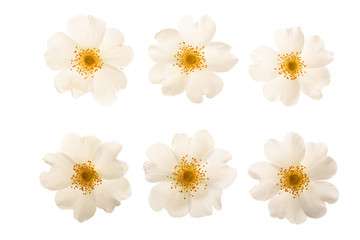 Rosehip flower isolated on white background close up